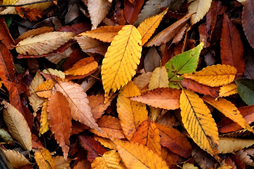 1280px-autumn_leaf_08nov17